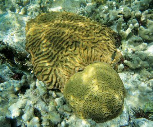After: This is the same coral that has recovered from bleaching – coral can recover from bleaching events if they are not severe and prolonged. Photo: Adam Glahn