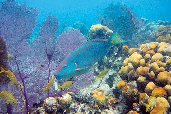 Parrotfish get their name from the structure of their beak-like jaw. Photo: Caroline Rogers