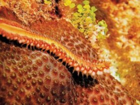 Orange/Bearded Fire Worm. Photo: Becky A. Bauer