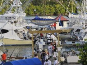 A busy day of marlin fishing at American Yacht Harbor marina in St Thomas, US Virgin Islands