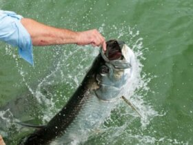 Hand Feed Florida Tarpon at Robbie's Marina in Islamorada