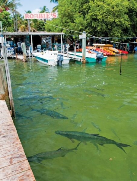 Hand feed the tarpon right from the dock
