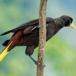Crested Oropendola. Photos by Charles (Chuck) Shipley