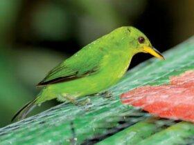 Female Green Honeycreeper. Photos by Charles (Chuck) Shipley