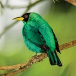 Male Green Honeycreeper. Photos by Charles (Chuck) Shipley