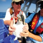 Scientists from Audubon Nature Institute and Louisiana Department of Wildlife and Fisheries prepare to release a sea turtle after being treated for oil exposure from the BP Deepwater Horizon oil disaster. Credit: U.S. Coast Guard
