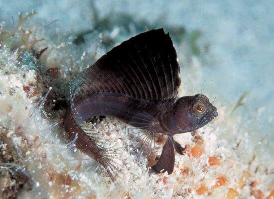 lolalita sailfin blenny