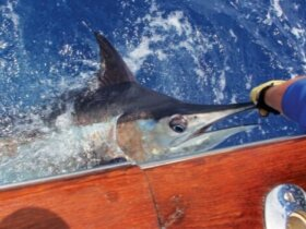 Blue Marlin Release on Free Spool. Photo: Charlie Levine
