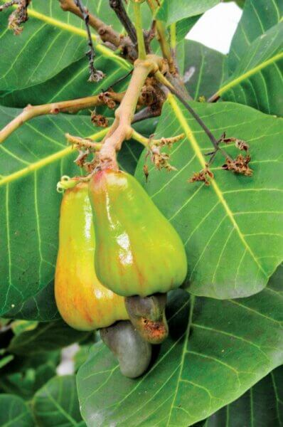 Cashew Apple. Photography by Dean Barnes