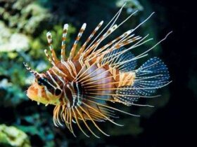 Lionfish are damaging reef habitat in the Cayman Islands