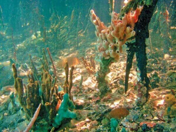 Snorkeling around the mangroves, Hurricane Hole, St Johns