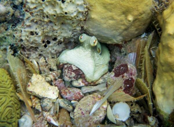 Octopus, Isle des Saintes