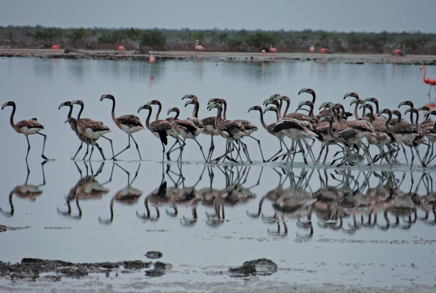 Juvenile Flamingos at Inagua National Park. Photo: Melissa Maura