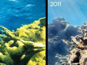 Both photographs are of the same coral head off Buck Island in St. Croix. The bleaching of the reef can be attributed to coastal development, warming waters and pollution with acidification. Left Photo: John Brooks, National Parks Service/Marine Photobank. Right Photo: David Arnold, doublexposure.net/Marine Photobank