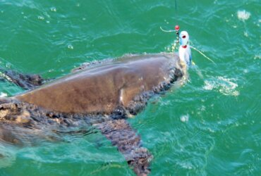 Cobia can't resist the Cobia Candy lure! Photo by Captain Judy Helmey