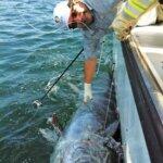 Eduardo releases a 1150lb Bluefin tuna