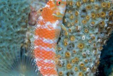 Green Razorfish, female. Photo by Charles (Chuck) Shipley