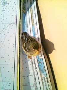 A tiny Blackpoll Warbler, a migrant between Canada and South America, rests in the cockpit of S/V Cinderella about 20 miles off the Florida coast. Photo: Jaye Lunsford