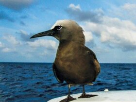 A Brown Noddy claims a random perch halfway between Ascension Island and Barbados. Photo: Ellen Massey Leonard