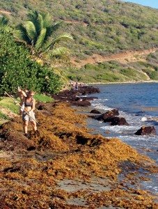 Volunteers clean up sargassum at Handsome Bay on Virgin Gorda. The area is one of the hardest hit with smelly seaweed in the BVI. Photo: Todd VanSickle