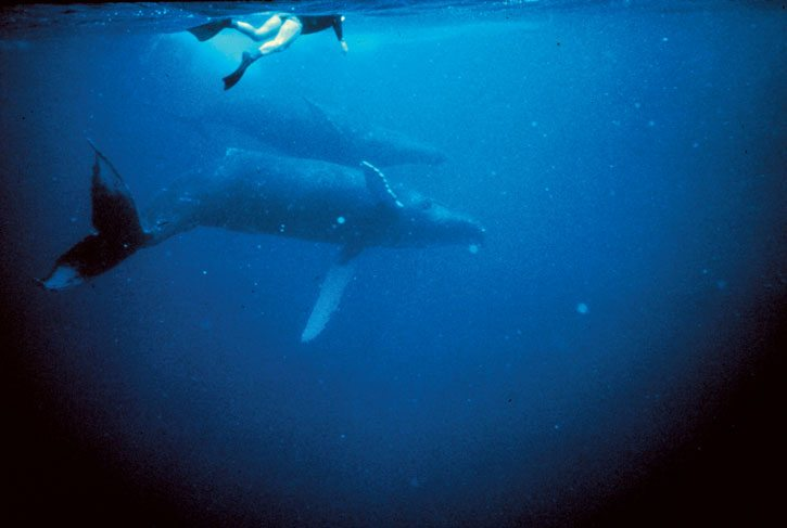 Humpback whales are mammals that must surface to breathe. Photo: OAR/National Undersea Research Program (NURP)