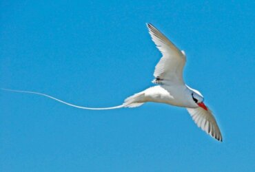 Sea Birds and the Changing Sea:Enter your sightings in eBird: Red Billed Tropicbird. Photo by Charles Shipley
