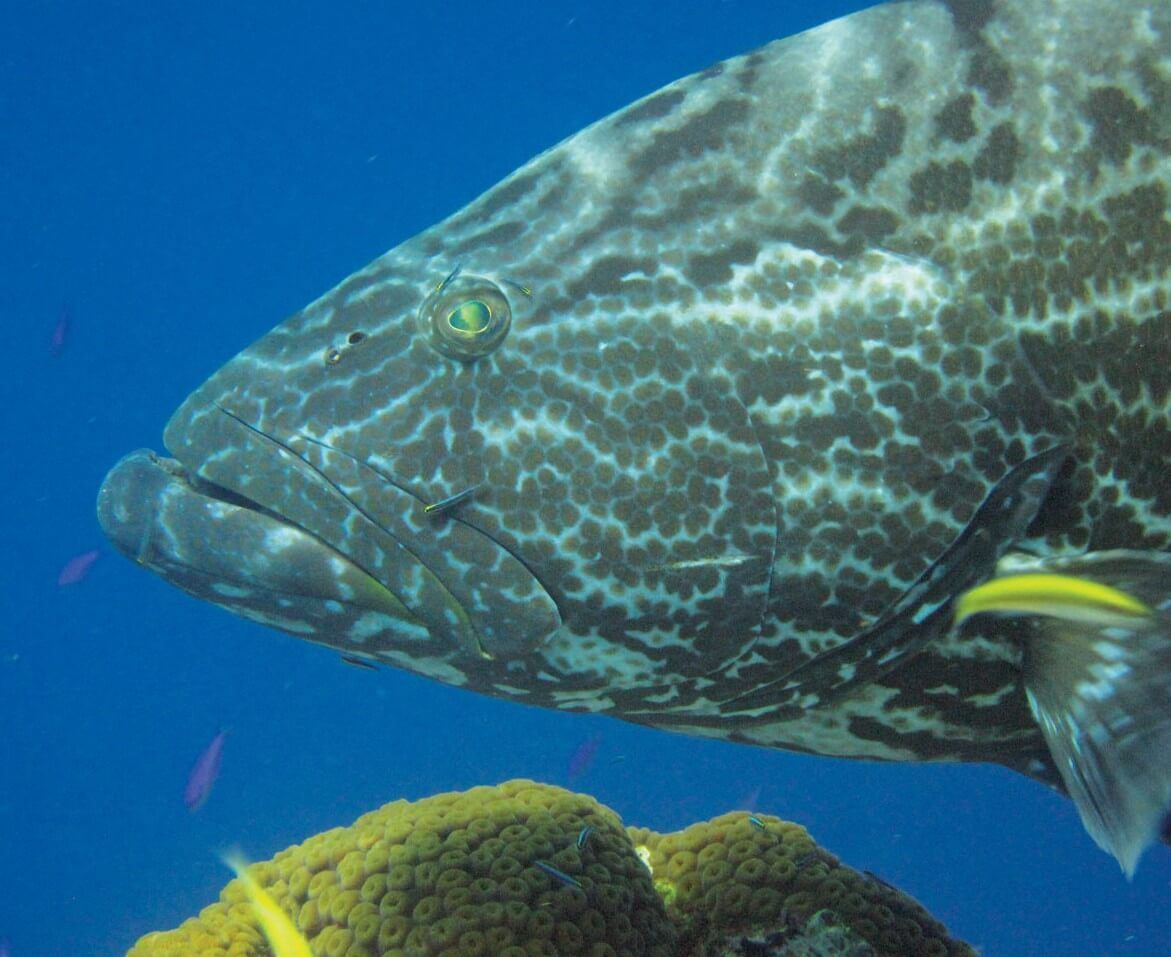 Spectacular Diving in the Turks & Caicos: Yellowfin Grouper, Photo by Stephanie Wallwork