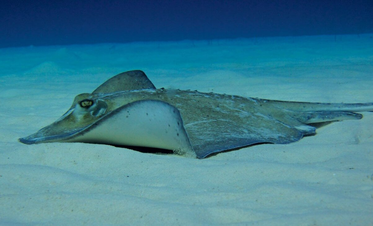 Spectacular Diving in the Turks & Caicos: Southern Stingray, Photo by Stephanie Wallwork