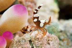 Colorful Shrimp of Bonaire: Squat shrimp. Photo by Charles 'Chuck' Shipley