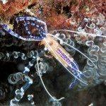 Colorful Shrimp of Bonaire: Pederson's shrimp. Photo by Charles 'Chuck' Shipley