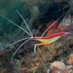 Colorful Shrimp of Bonaire: Scarlet-striped Cleaner shrimp. Photo by Charles 'Chuck' Shipley