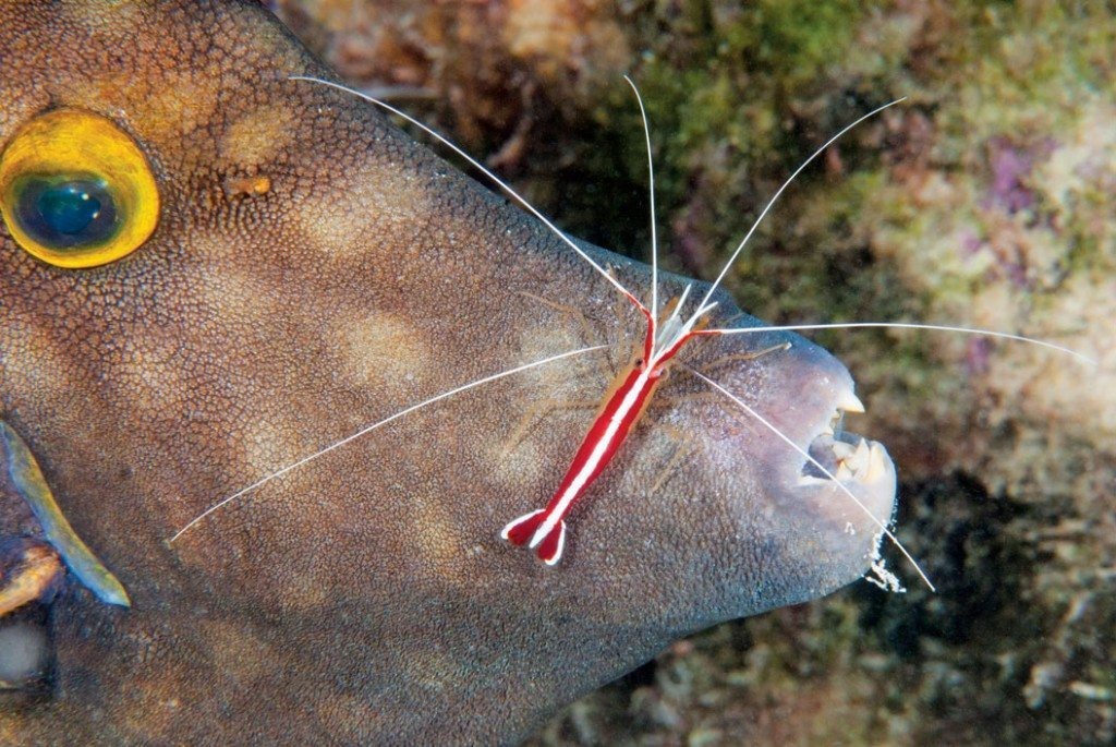 Colorful Shrimp of Bonaire: Scarlet-striped Cleaner shrimp hard at work. Photo by Charles 'Chuck' Shipley