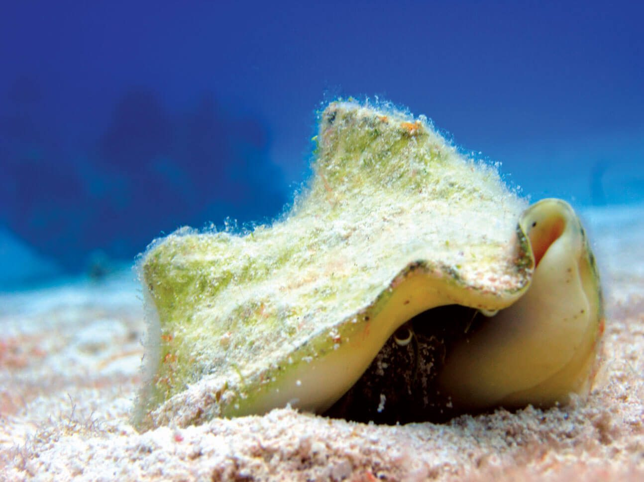 Spectacular Diving in the Turks & Caicos: Queen Conch, Photo by Stephanie Wallwork