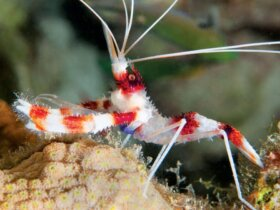 Colorful Shrimp of Bonaire: Male Banded Coral shrimp. Photo by Charles 'Chuck' Shipley