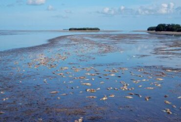 Florida Bay die off: A fish kill in Florida Bay includes dead toadfish, mullet, pinfish and redfish. Photo by Pete Frezza with Florida Keys Audubon