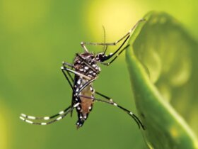 zika virus mosquitoes : The Tiger mosquito (Aedes aegypti) is the primary vector of the Zika Virus. Photo Muhammad Mahdi Karim