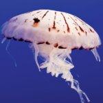 Jellyfish : Purple-striped Jelly (Chrysaora Colorata)