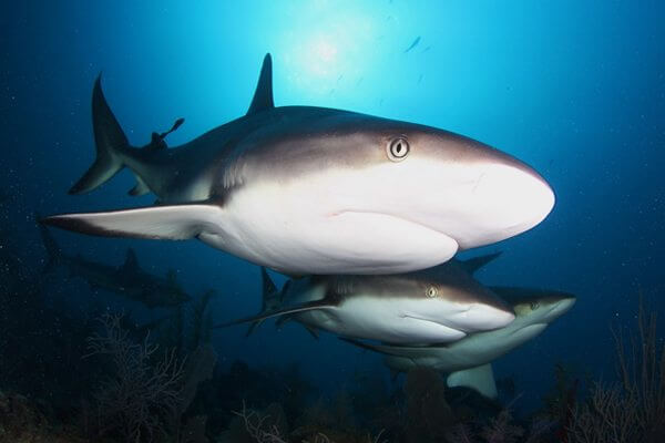 Caribbean_Reef_Sharks