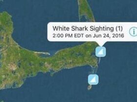 white shark tracker app