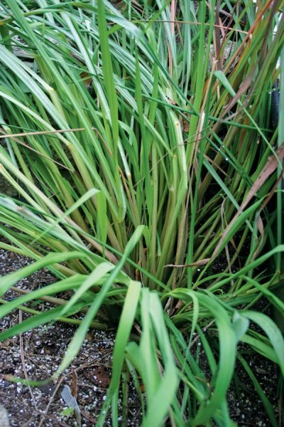 Lemongrass in the author's greenhouse