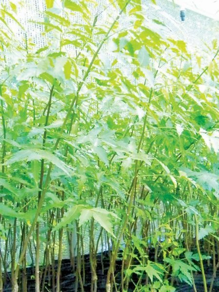 Neem trees are fast growing