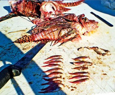 contents-of-lionfish-stomach-revealed-during-dissection-image-courtesy-of-ocean-support-foundation