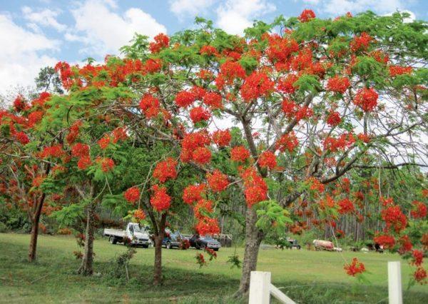 Andros Island Mennonites Farm Mimosa Tree