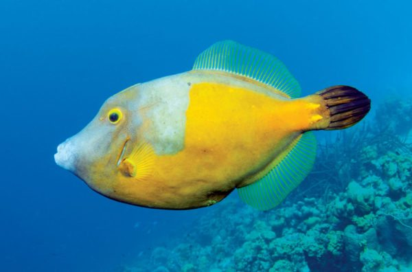 Whitespotted filefish. Photo by Charles (Chuck) Shipley