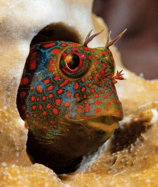 #1 Tessellated Blenny. Photo by Charles (Chuck) Shipley