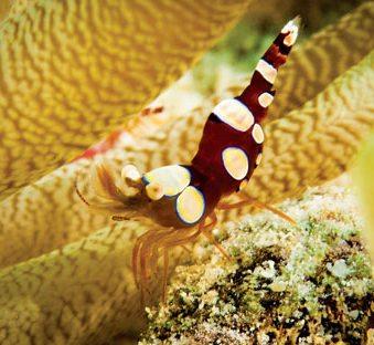#3 Squat shrimp. Photo by Charles (Chuck) Shipley