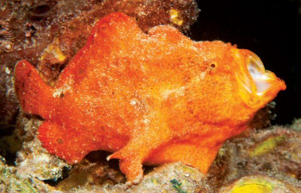 #4 Frogfish yawning. Photo by Charles (Chuck) Shipley