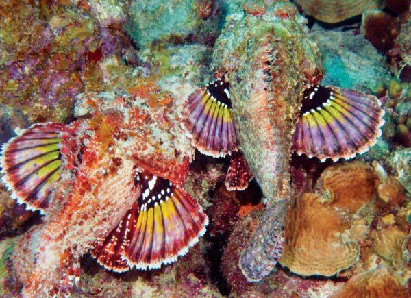 Scorpion fish. Photo by Charles (Chuck) Shipley