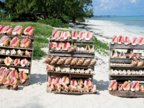 Different types of conch. Photo Katie Gutteridge