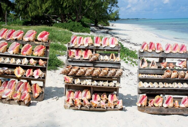 Different types of conch. Photo Katie Gutteridge